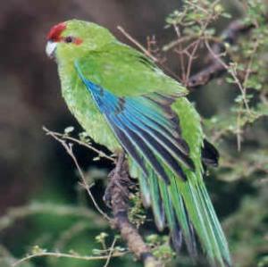 Conservation Breakthrough As Kakariki Re-Colonise Remote Island