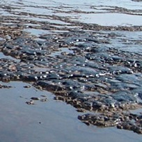 Beach cleanup starts after tide exposes oil