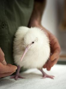 Second white kiwi hatches at Pukaha - Video
