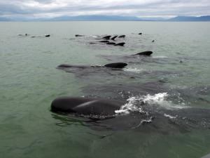 Refloated whales bring relief but call to stay watchful