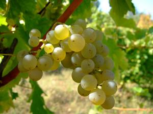 Good weather great news for winegrowers - MPI
