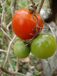 Tomatoes Top Seed In NZ Fruit And Vegetable Charts