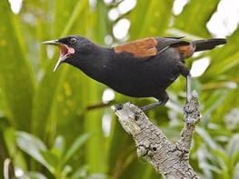North Island Bird Develops Own Dialects