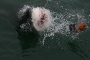 Pew applauds call for regional shark sanctuary
