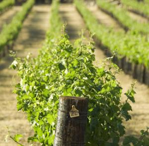 Fruit and wine growers under pressure