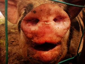 NAWAC Review Of The Pigs Code Of Welfare