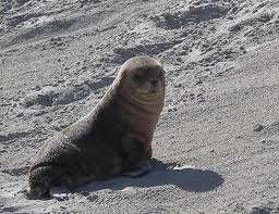 Squid fishery decision 'won't save sea lions'