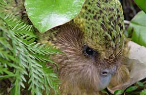 Sirocco The Kākāpō An Online Phenomenon